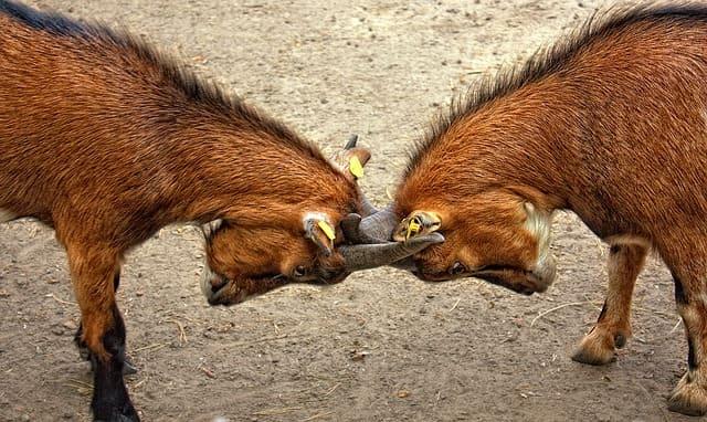 二頭の戦うヤギ